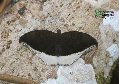 The Gray Countผีเสื้อเคาท์เทาCynitia lepidea