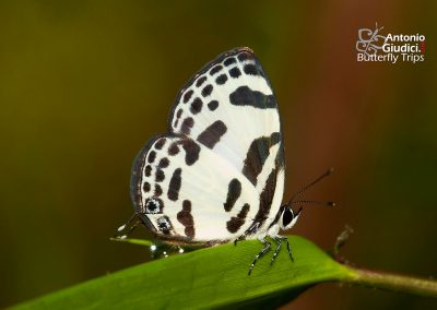 The Banded Blue Pierrotผีเสื้อหนอนพุทราแถบฟ้าDiscolampa ethion