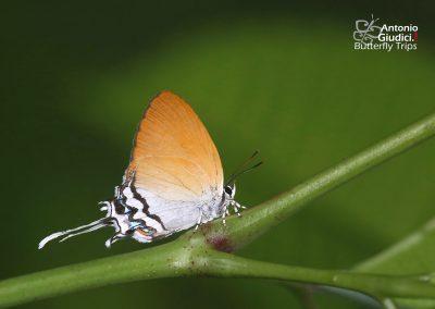 The Circular-branded Posyผีเสื้อแต้มแสดแถบเพศกลมDrupadia cinesoides