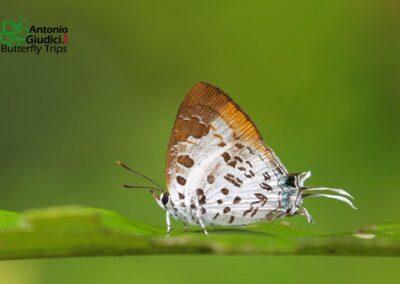 The White-craved Posy ผีเสื้อแต้มแสดลายฉลุขาว Drupadia estella