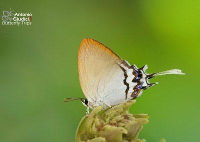 The Johor Posyผีเสื้อแต้มแสดยะโฮร์Drupadia johorensis