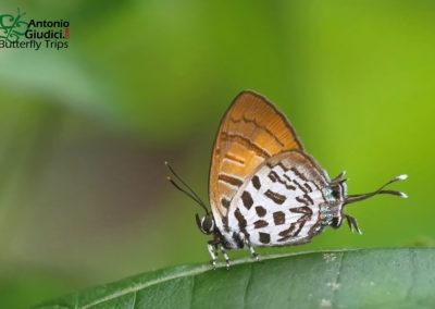 The Intermediate Posyผีเสื้อแต้มแสดกลางDrupadia niasica