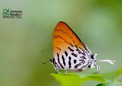 The Common Posyผีเสื้อแต้มแสดธรรมดาDrupadia ravindra