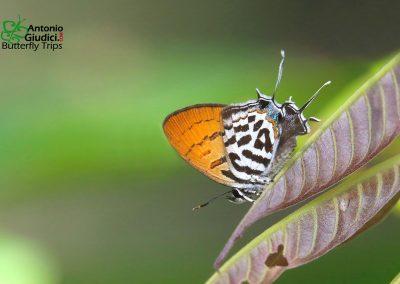 The Lesser Posyผีเสื้อแต้มแสดเล็กDrupadia rufotaenia