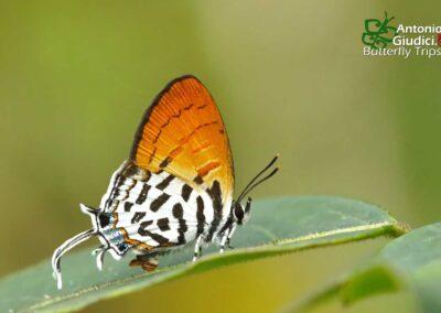 The Lesser Posy ผีเสื้อแต้มแสดเล็ก Drupadia rufotaenia