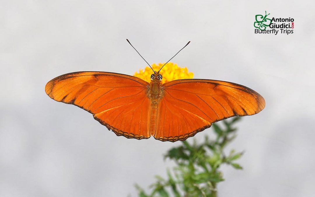 The Julia Butterflyผีเสื้อจูเลียDryas iulia
