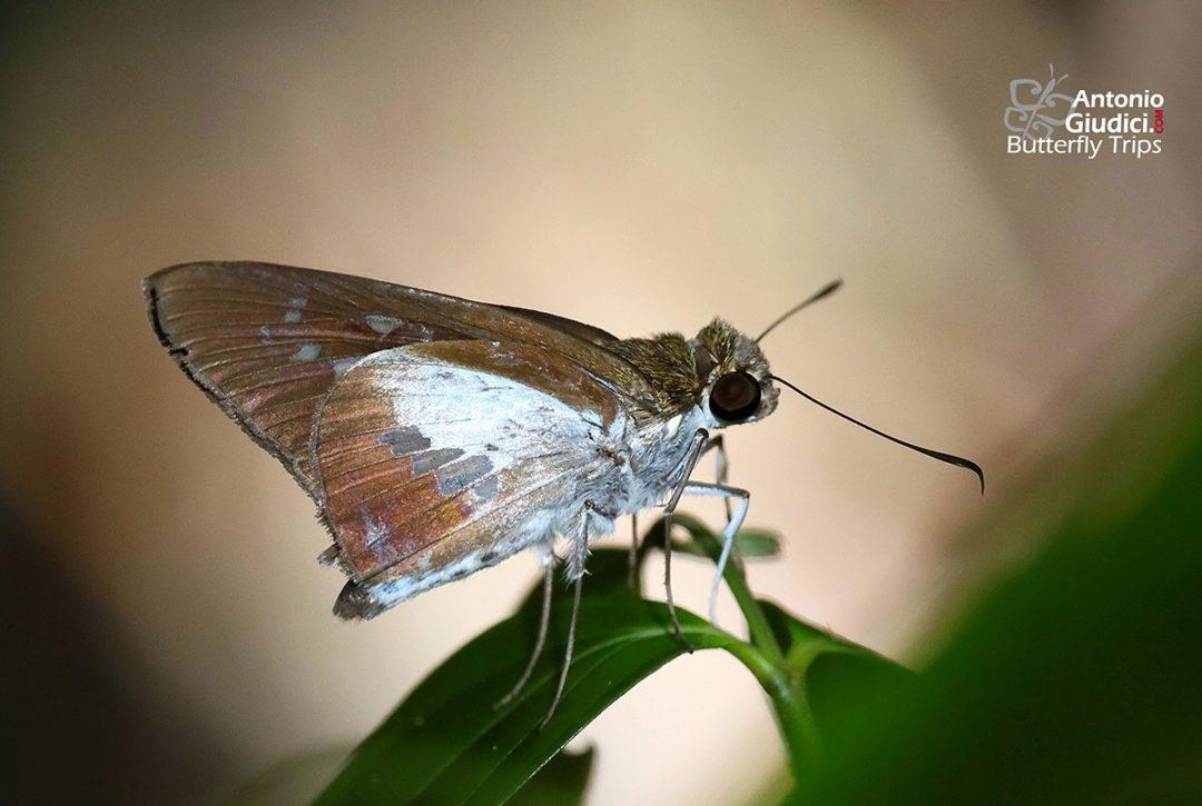 The White-spotted Palmerผีเสื้อปาล์มจุดขาวเรียงEetion elia