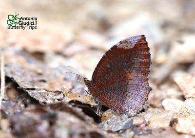 The Common Palmflyผีเสื้อหนอนมะพร้าวธรรมดาElymnias hypermenestra