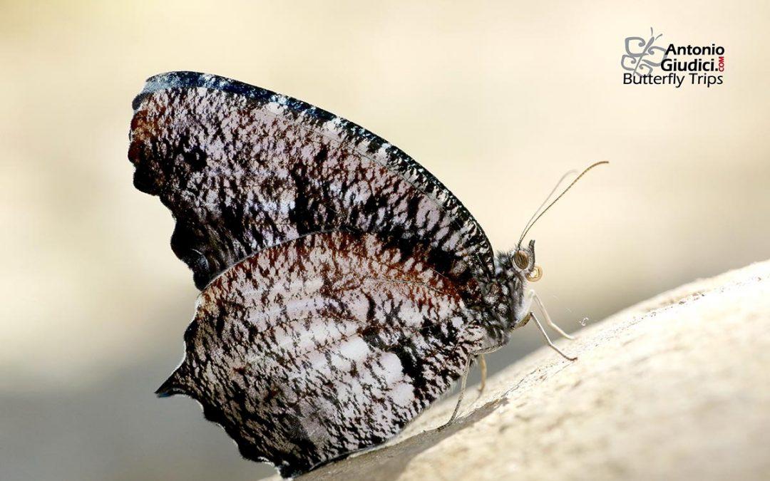 The Tiger Palmflyผีเสื้อหนอนมะพร้าวลายเสือElymnias nesaea