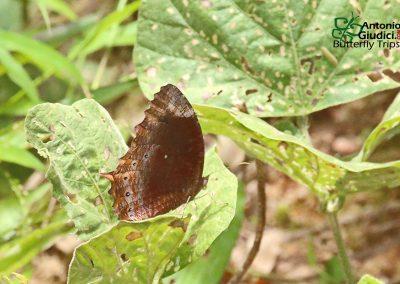 The Chestnut Palmflyผีเสื้อหนอนมะพร้าวขอบตาลElymnias obnubila