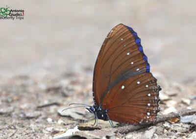 The Blue-striped Palmflyผีเสื้อหนอนมะพร้าวขีดฟ้าElymnias patna