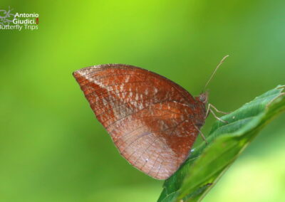 The Pointed Palmflyผีเสื้อหนอนมะพร้าวปีกแหลมElymnias penanga
