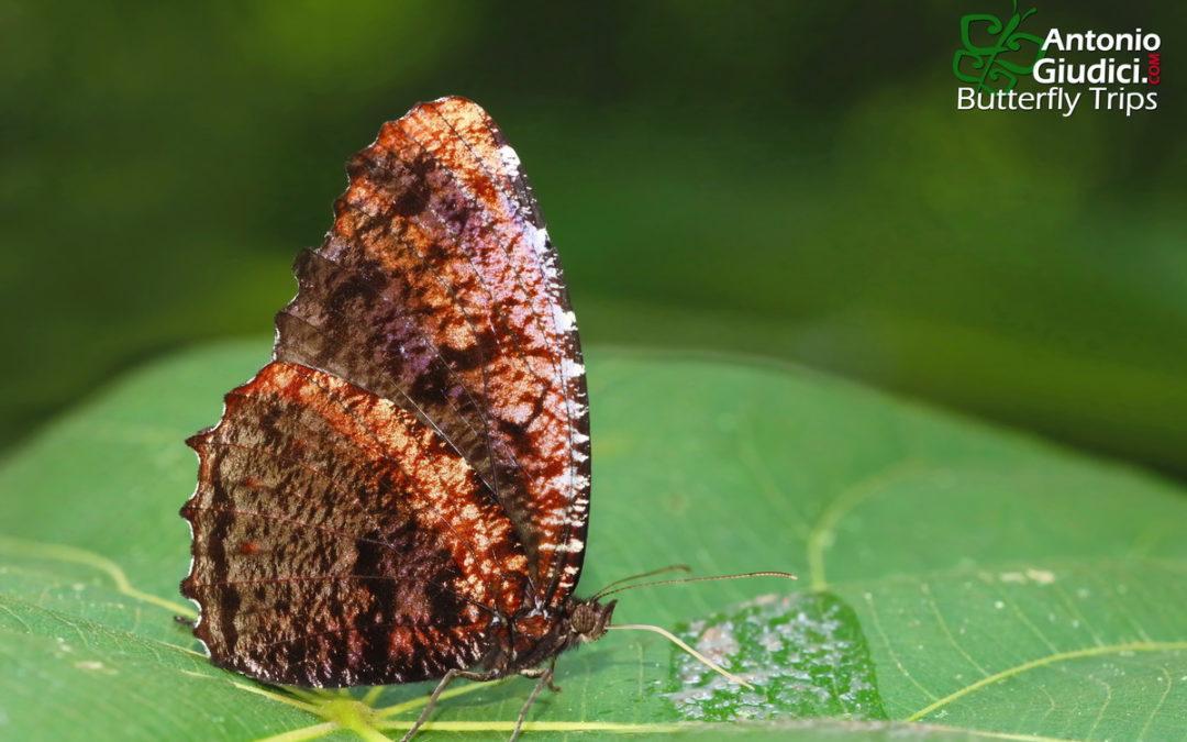 The Dried-leaf Palmflyผีเสื้อหนอนมะพร้าวทางแห้งElymnias saueri
