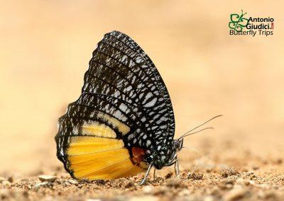 The Jezebel Palmflyผีเสื้อหนอนมะพร้าวปีกหลังขาวElymnias vasudeva