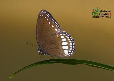 The White Diademผีเสื้อตาลจุดขาวเรียงEthope diademoides