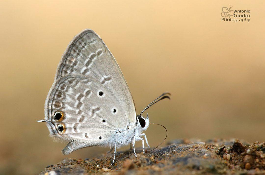 The Gram Blueผีเสื้อฟ้าหิ่งห้อยสีจางEuchrysops cnejus