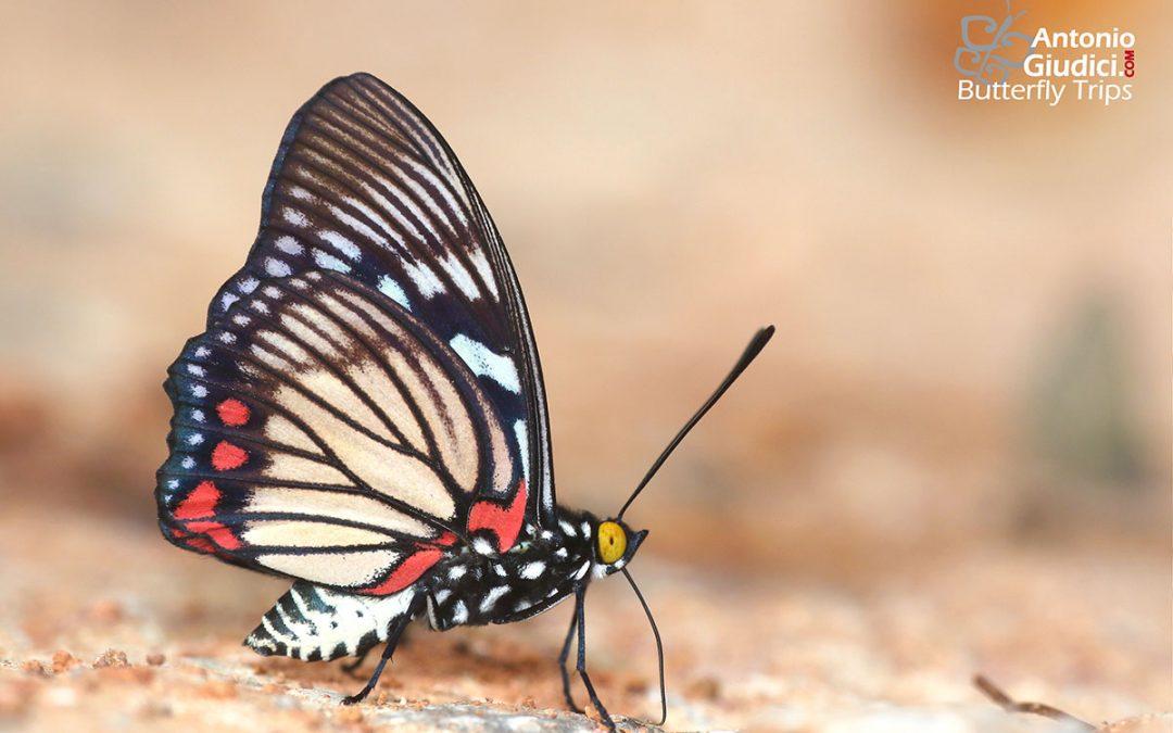 The Painted Courtesanผีเสื้อปีกเว้าแต้มแดงEuripus consimilis