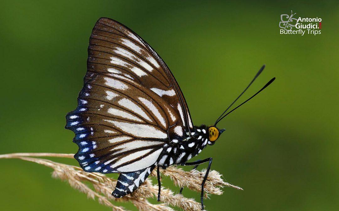 The Courtesanผีเสื้อปีกเว้าธรรมดาEuripus nyctelius