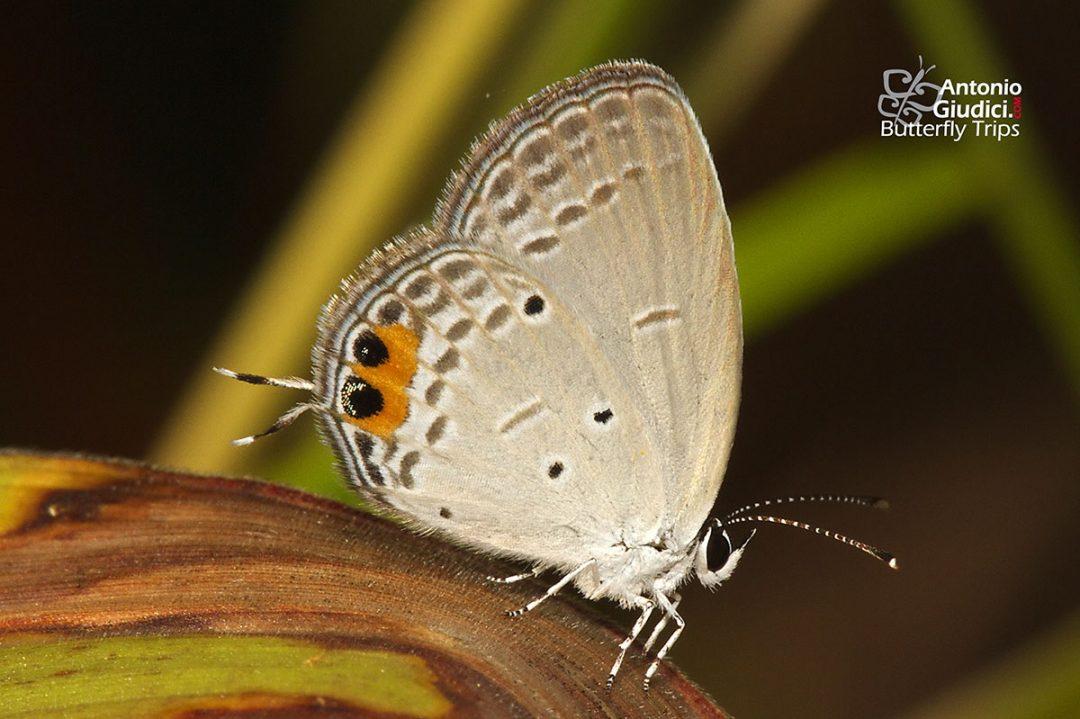 The Indian Cupidผีเสื้อกามเทพอินเดียEveres lacturnus