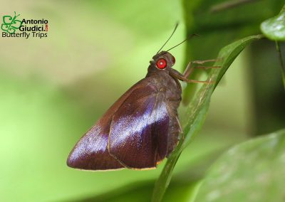 The Banded Redeyeผีเสื้อตาแดงคาดขาวGangara lebadea