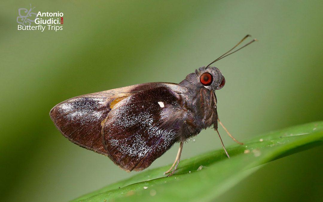The Small Redeyeผีเสื้อตาแดงเล็กGangara sanguinocculus