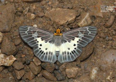 The Common White Flat ผีเสื้อปีกราบขาวธรรมดา Gerosis bhagava