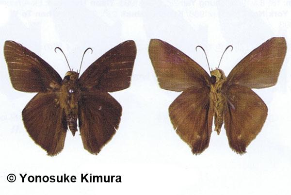 The Lesser Awlผีเสื้อหน้าเข็มเล็กHasora mixta