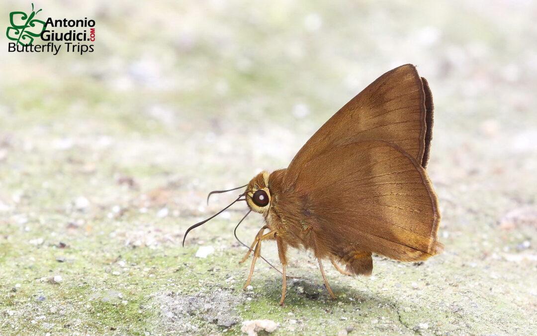 The Pale-tailed Awlผีเสื้อหน้าเข็มหางจางHasora myra