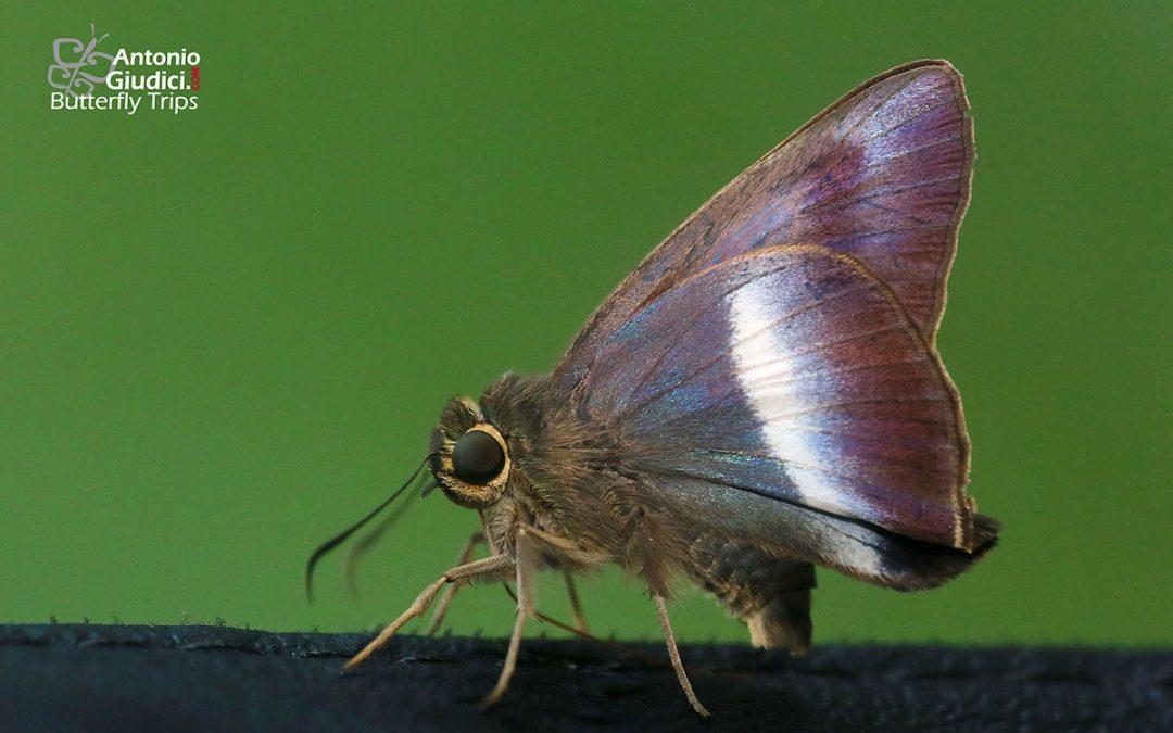 The Siamese Awlผีเสื้อหน้าเข็มสยามHasora proxissima
