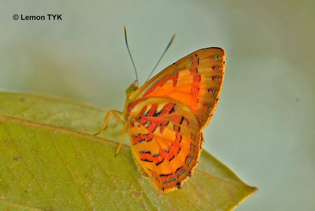 The Orange Greenlineผีเสื้อมรกตส้มขีดเขียวHypochrysops coelisparsus