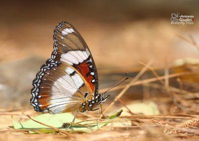 The Danaid Eggfly ผีเสื้อปีกไข่เมียเลียนHypolimnas misippus