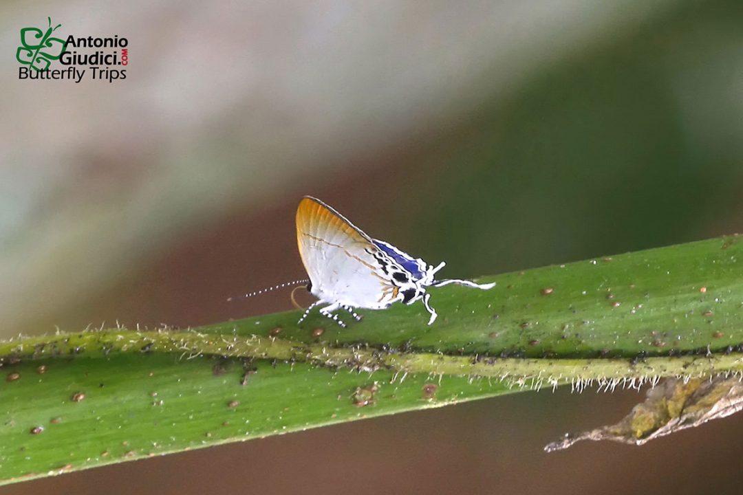 The Violet Titผีเสื้อพุ่มไม้ม่วงเข้มHypolycaena amabilis