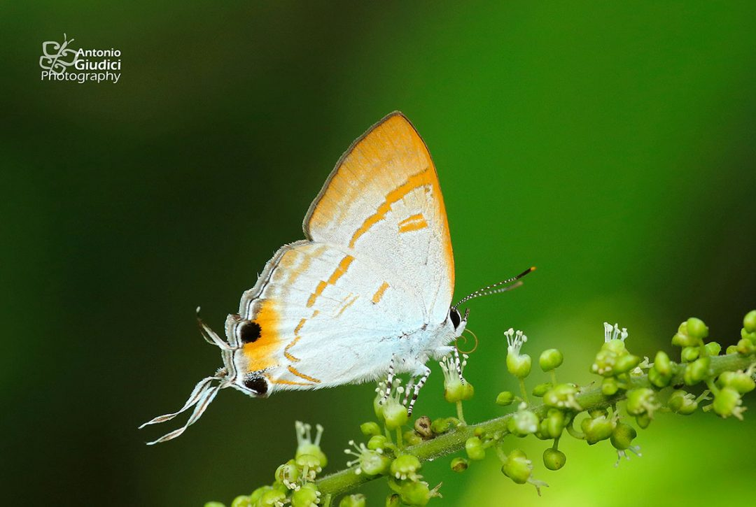 The Brown Titผีเสื้อพุ่มไม้สีตาลHypolycaena thecloides