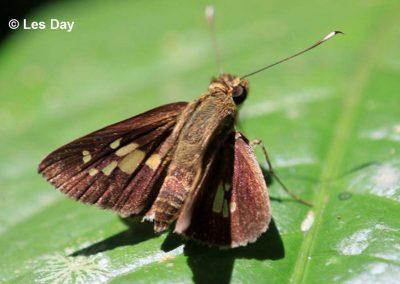 The Malayan Long-spot Flitterผีเสื้อนิลจุดยาวมลายูIsma bononoides