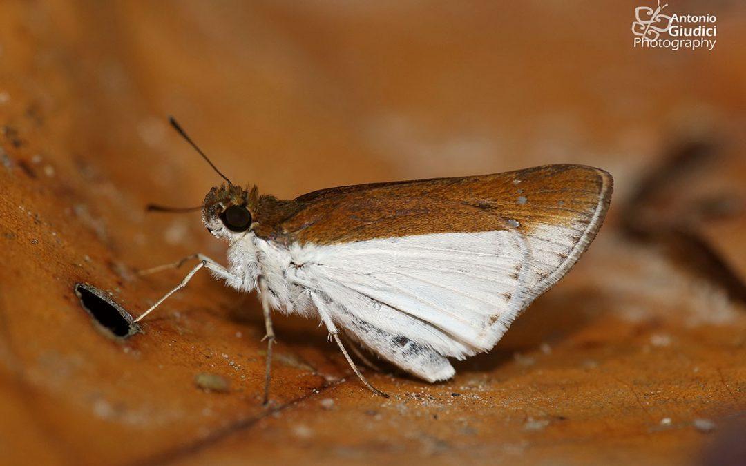 The Common Wightผีเสื้อแต้มขาวธรรมดาIton semamora