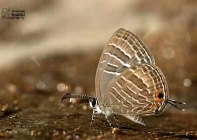 The Common Ceruleanผีเสื้อฟ้าวาวสีต่างฤดูJamides celeno