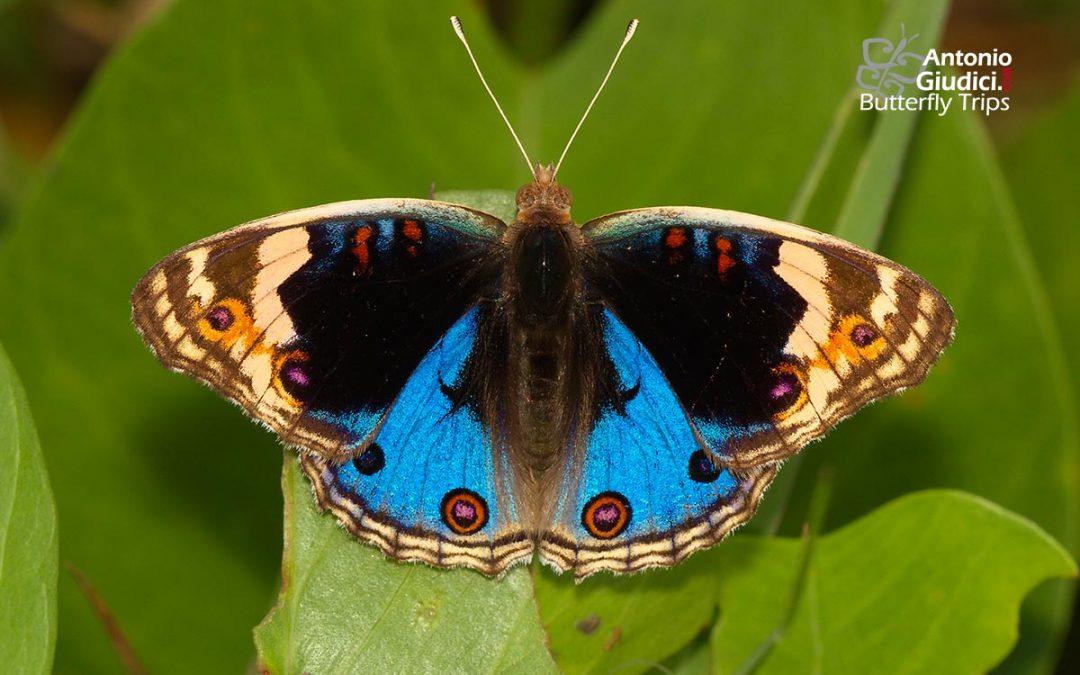The Blue Pansyผีเสื้อแพนซีฟ้าJunonia orithya
