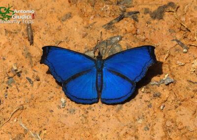 The Blue Dandyผีเสื้อขี้โอ่น้ำเงินLaringa castelnaui
