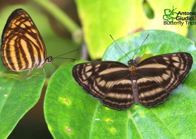 The Tiger Lascarผีเสื้อกะลาสีแดงลายเสือLasippa monata