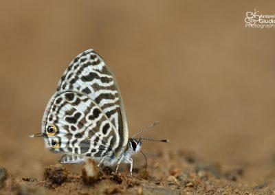 The Zebra Blueผีเสื้อฟ้าลายLeptotes plinius