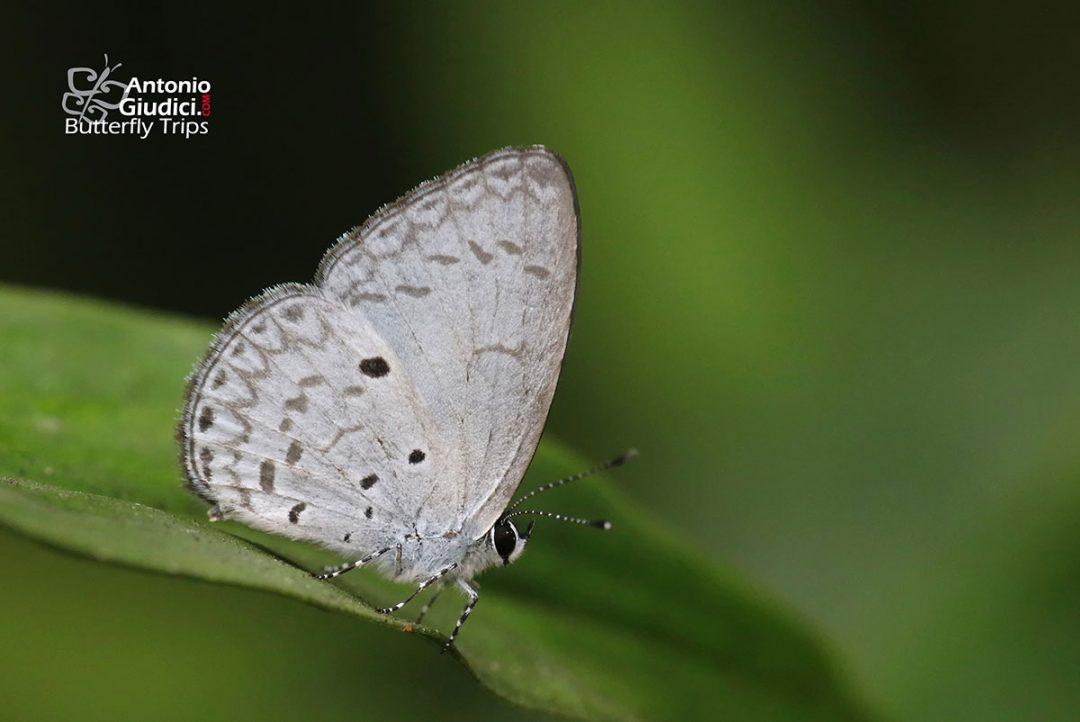 The White-banded Hedge Blueผีเสื้อฟ้าพุ่มกลางปีกขาวLestranicus transpectus