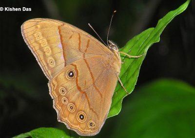 The Rusty Foresterผีเสื้อเลอะเทอะจุดสนิมLethe bhairava