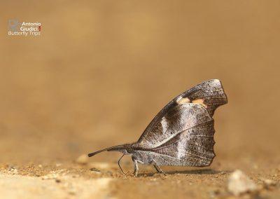 The Club Beakผีเสื้อหัวแหลมกระบองLibythea myrrha