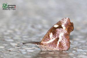 Bộ sưu tập cánh vẩy 5 - Page 6 Libythea-narina-1-300x200