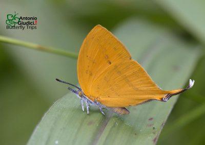 The Common Yamflyผีเสื้อแสดหางยาวLoxura atymnus