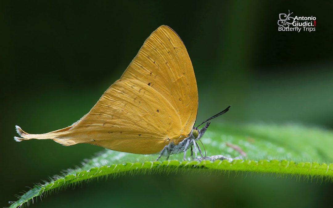 The Malayan Yamflyผีเสื้อแสดหางยาวมลายูLoxura cassiopeia