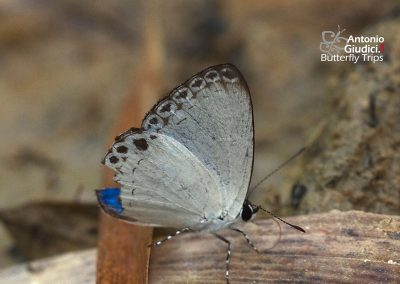 The Felder's Hedge Blueผีเสื้อฟ้าเฟลเดอร์Lycaenopsis haraldus