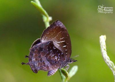 The Malayan Falcate Oakblueผีเสื้อขอบเว้าเรียบมาเลย์Mahathala ariadeva