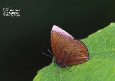 The Mandarinผีเสื้อแมนดารินMandarinia regalis