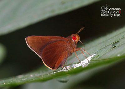 The Common Redeyeผีเสื้อตาแดงธรรมดาMatapa aria
